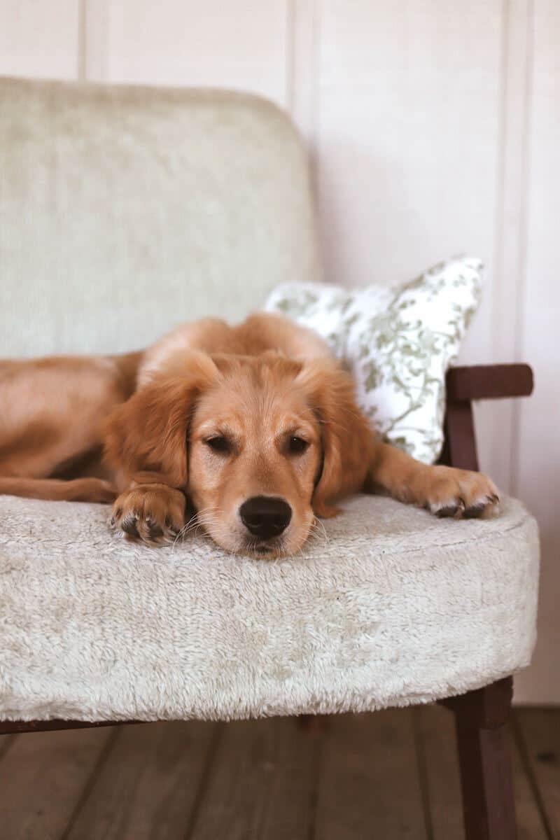 brown dog on white chair