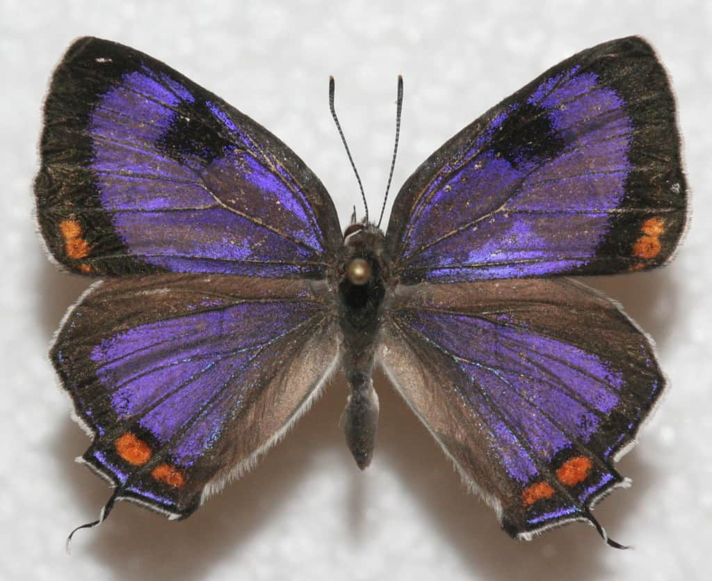 purple butterfly, Colorado Hairstreak, butterfly pea juice, Traveling Well For Less