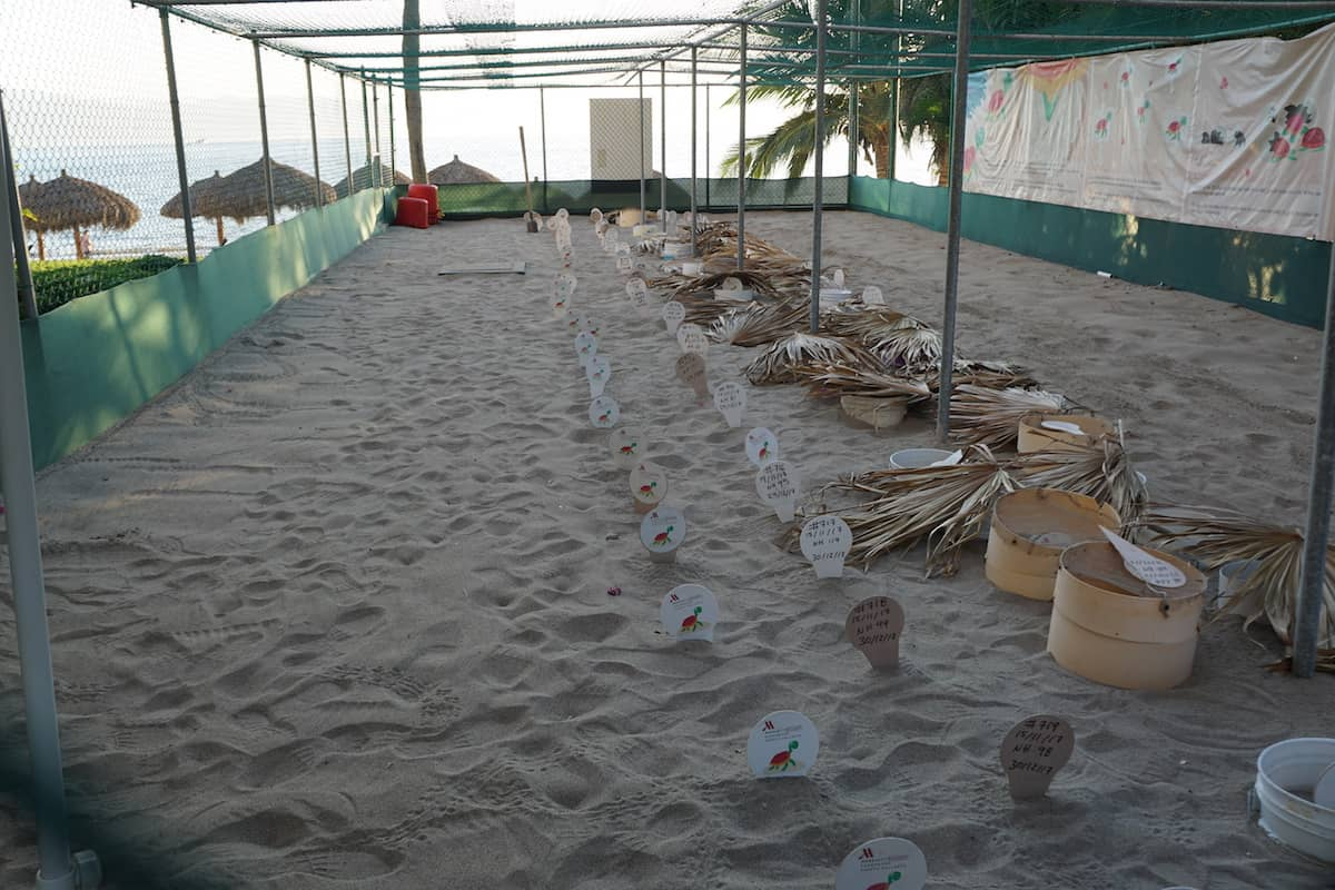 Sea turtle hatchery at Marriott Puerto Vallarta Resort. Guest can release sea turtles for free. | release sea turtles | Mexico | www.travelingwellforless.com