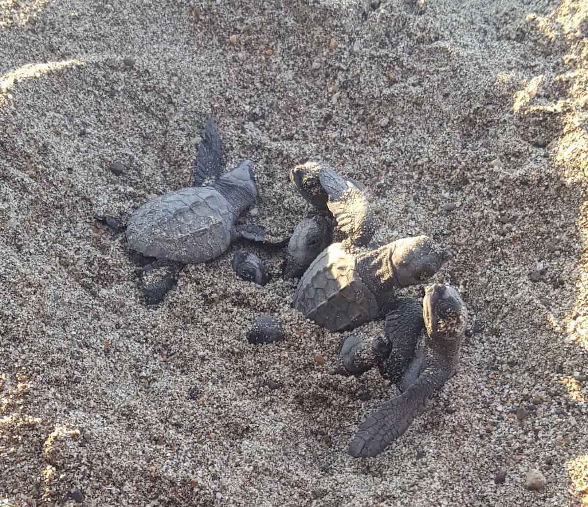 """Sea turtles hatching. The Marriott Puerto Vallarta Resort operates one of the """"biggest turtle"""" nurseries in Puerto Vallarta. Hotel guests can take part in a sea turtle release from June to December."""