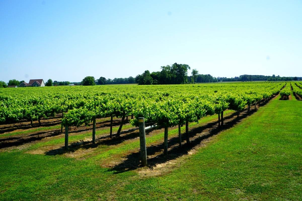 Established in 1971, Hinnant Vineyards is the largest muscadine vineyard in North Carolina. They started making wine in 2003. | muscadine wine | Beer, wine, and shine trail | things to do in Johnston County, North Carolina | wine | TravelingWellForLess.com