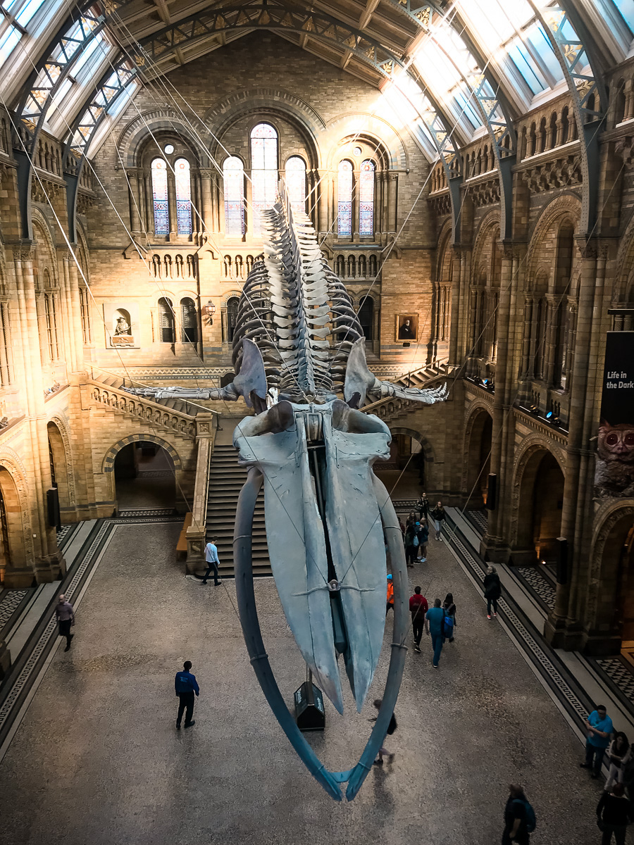 national history museum london blue whale skeleton