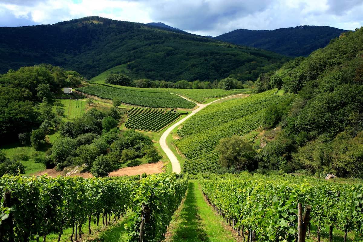 vineyard in Alsace, France, Vosges