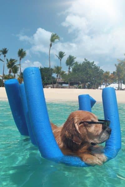 golden retriever on blue pool floatie in Caribbean ocean