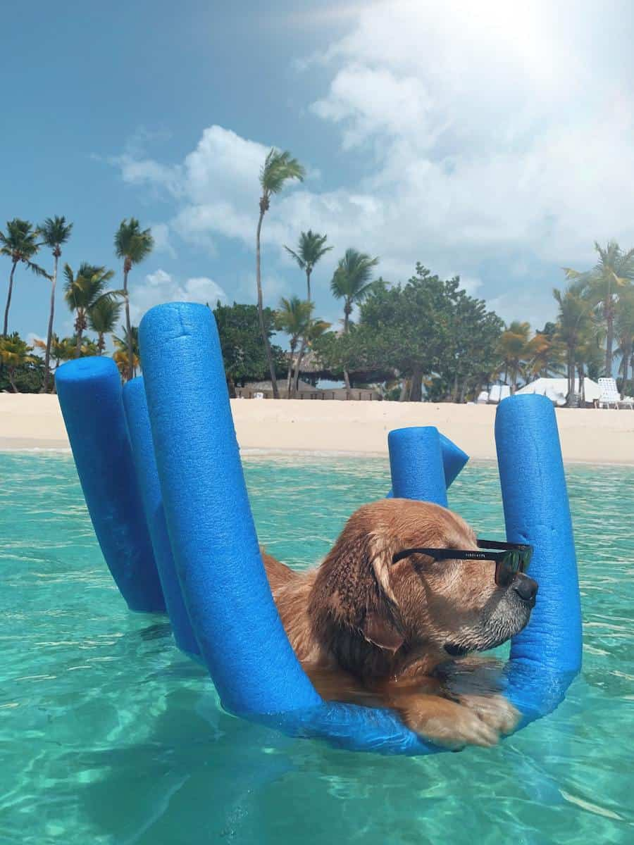 golden retriever on blue pool floatie in Caribbean ocean